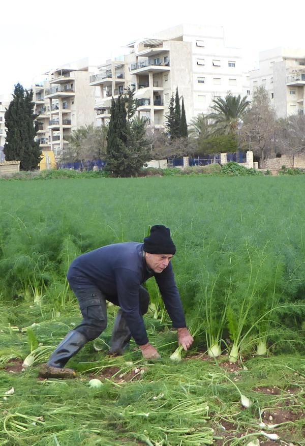 חיים פטיש בשדה השומר - שכונות הבטון שכובשות את השדות החקלאיים (צילם: שלמה אברמוביץ')